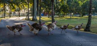 Groupe d'oiseaux de marche gratuits et de traverser de dinde une route Photos stock