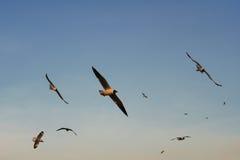 Groupe d'oiseaux glissant au coucher du soleil Image stock
