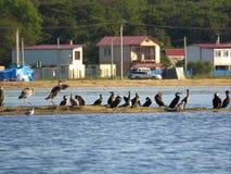 Groupe d'oiseaux : hérons, cormorans, mouettes sur l'île arénacée sur le fond des maisons, tentes et voitures photos stock