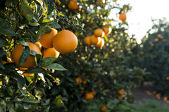 Groupe d'oranges Images stock