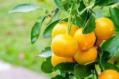 Groupe d'oranges mûres accrochant sur un arbre Photo stock