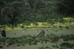 Groupe d'oryx en Namibie photographie stock libre de droits
