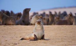 Groupe d'otaries sur la plage Photos libres de droits