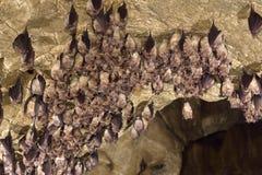 Groupe d'une plus grande batte en fer à cheval (ferrumequinum de Rhinolophus) images libres de droits