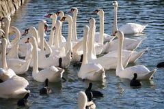 Groupe de alimentation de cygnes sur le rivage du lac Image stock