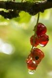 Groupe de baie de rubrum de Ribes de groseille rouge avec des gouttelettes d'eau ensuite Photo stock