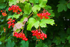 Groupe de baies rouges d'un aîné de GU rose ou arbuste d'opulus de Viburnum Photo libre de droits
