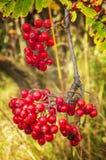 Groupe de baies de sorbe dans la forêt sauvage Photographie stock