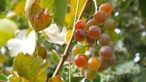 Groupe de baillements rouges Un groupe d'accrocher mûr de raisins rouges banque de vidéos