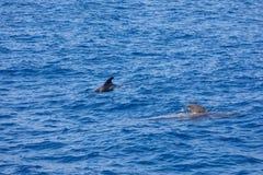 Groupe de baleines pilotes dans la baleine des Îles Canaries de l'Océan Atlantique Ténérife image stock