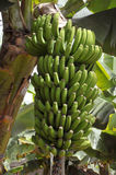 Groupe de banane chez Tenerife Images stock