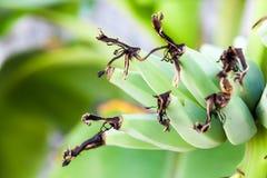 Groupe de banane sur l'arbre dans le jardin Image stock