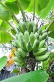 Groupe de bananes photo libre de droits