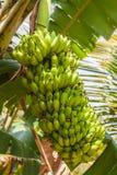 Groupe de bananes mûres et mûrissantes sur un arbre Photos libres de droits