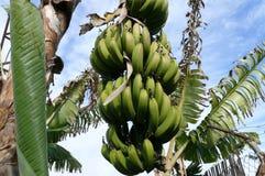 Groupe de bananes s'élevant sur l'arbre Images libres de droits