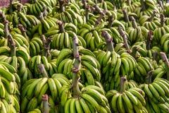 Groupe de bananes vertes mûrissant dehors photographie stock libre de droits