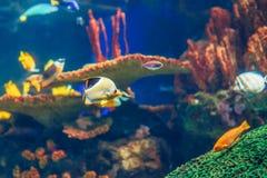 Groupe de banc de beaucoup de poissons tropicaux jaunes rouges dans l'eau bleue avec le récif coralien, monde sous-marin coloré Images libres de droits