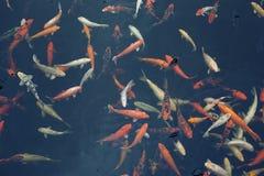 Groupe de belles carpes rouges de Koi (poissons) à l'arrière-plan foncé images libres de droits