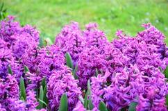 Groupe de belles jacinthes pourpres Photo stock