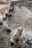 Groupe de bison européen dans le pré clôturé Photos libres de droits