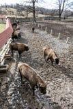 Groupe de bison européen dans le pré clôturé, thème animal Images stock