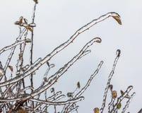 Groupe de brindilles avec des feuilles englouties avec la couche profonde de glace Photo libre de droits