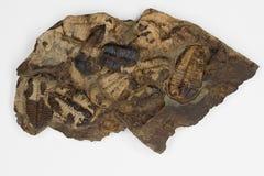 Groupe de Brown Trilobites avec le fond blanc Image libre de droits