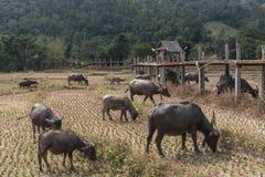 Groupe de buffles dans sec, gisement de riz de sécheresse dans l'après-midi, indust Photo libre de droits