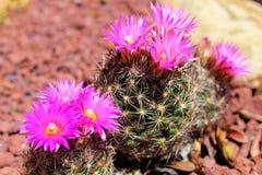 Groupe de cactus de pelote à épingles avec des fleurs photo stock