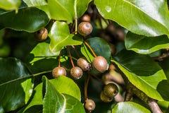 Groupe de Callery/Bradford Pear Fruit images libres de droits