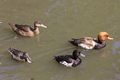 Groupe de canard Photo stock