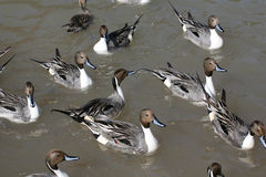 Groupe de canards photographie stock libre de droits