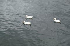 Groupe de canards Images libres de droits