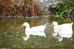 Groupe de canards nageant la scène Image stock