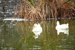 Groupe de canards nageant la scène Photographie stock libre de droits