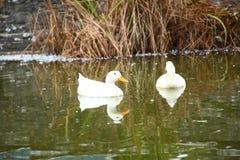 Groupe de canards nageant la scène Images libres de droits