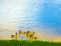 Groupe de canards sur le lac Photo libre de droits