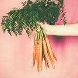 Groupe de carottes fraîches dans la main Images libres de droits