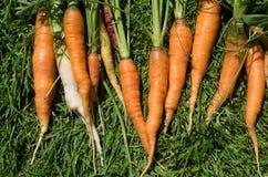 Groupe de carottes sur l'herbe dans le jardin photographie stock
