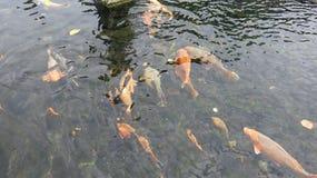 Groupe de carpes colorées de koi dans la piscine poissons brillamment color?s Le poisson de Koi flotte sous l'eau photo stock