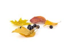 Groupe de cendre de montagne noire sur des feuilles d'automne d'érable sur un blanc Photo stock