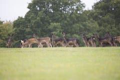 Groupe de cerfs communs Image stock