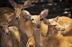 Groupe de cerfs communs Photo stock