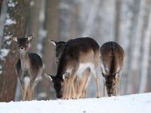 Groupe de cerfs communs affrichés en hiver Images libres de droits