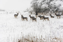 Groupe de cerfs communs dans l'hiver Photographie stock libre de droits