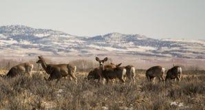 Groupe de cerfs communs de mule image libre de droits