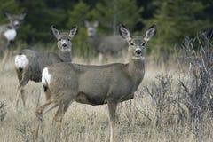 Groupe de cerfs communs de mule Photographie stock