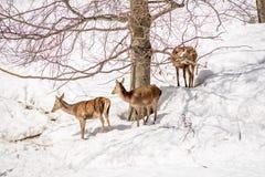 Groupe de cerfs communs en parc en Italie du nord l'hiver avec la neige Image libre de droits