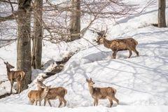 Groupe de cerfs communs en parc en Italie du nord l'hiver avec la neige Photos libres de droits