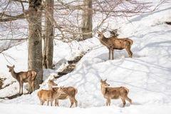 Groupe de cerfs communs en parc en Italie du nord l'hiver avec la neige Photos stock